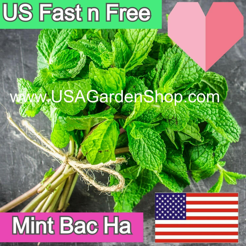 Lamiaceae Mentha Peppermint Bac ha Hung Cay