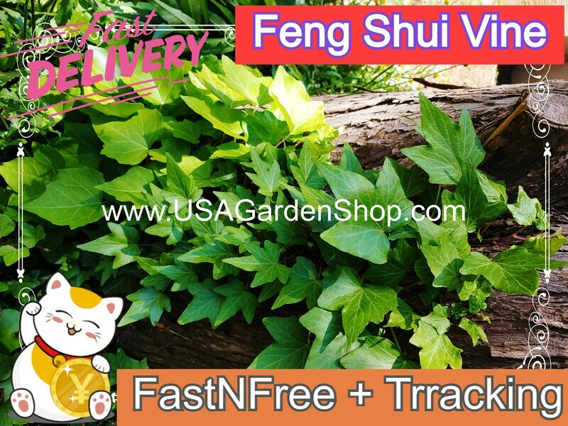 English Ivy plant Hedera helix Day Thuong Xuan