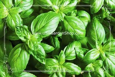 Genovese Basil Seeds Heirloom Hung Que