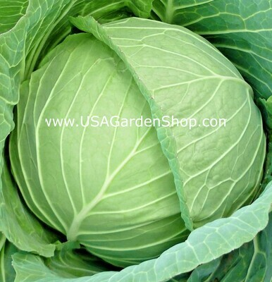 Copenhagen Cabbage Seeds Bap Cai