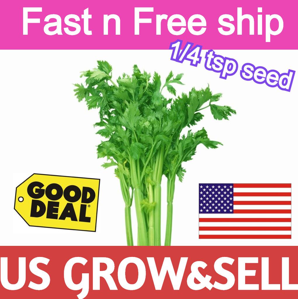 Chinese Leaf Celery Can Tau  1/4 tspSeeds