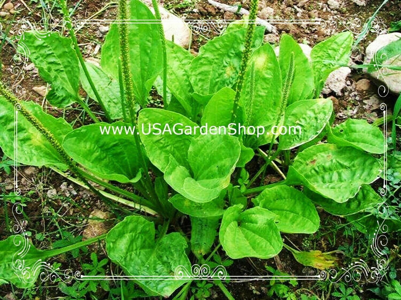 Plantago Plantain Leaf Ma de herb