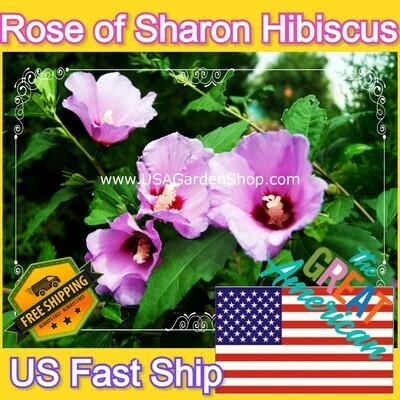 Hibiscus Plant Syriacus Shrub Althea