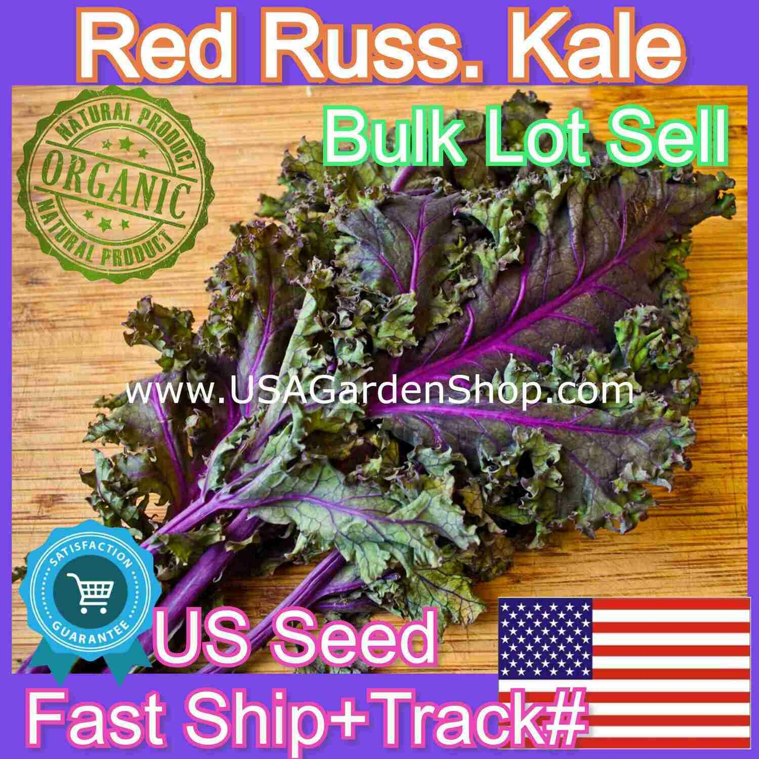 Kale Seeds Red Russian Cải xoăn 케일