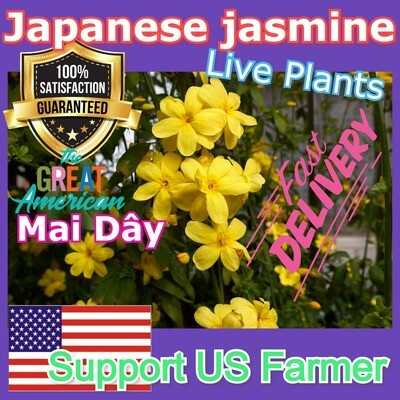 Japanese Jasmine Mai Day