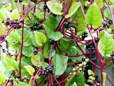 Alugbati Spinach Malabar Spinach Mong Toi