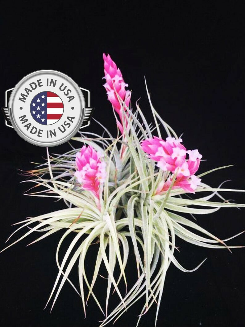 Air Plant Houston Cotton Candy Airplant, Tillandsia,