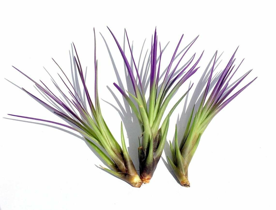 Purple Tricolor Tillandsia Air Plant