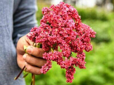 Takane Ruby Buckwheat Flower Seeds