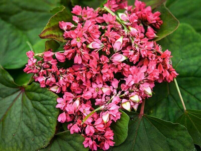 Takane Ruby Buckwheat Flower