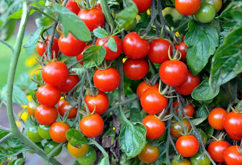Cherry Tomato Seed Ca Chua Bi