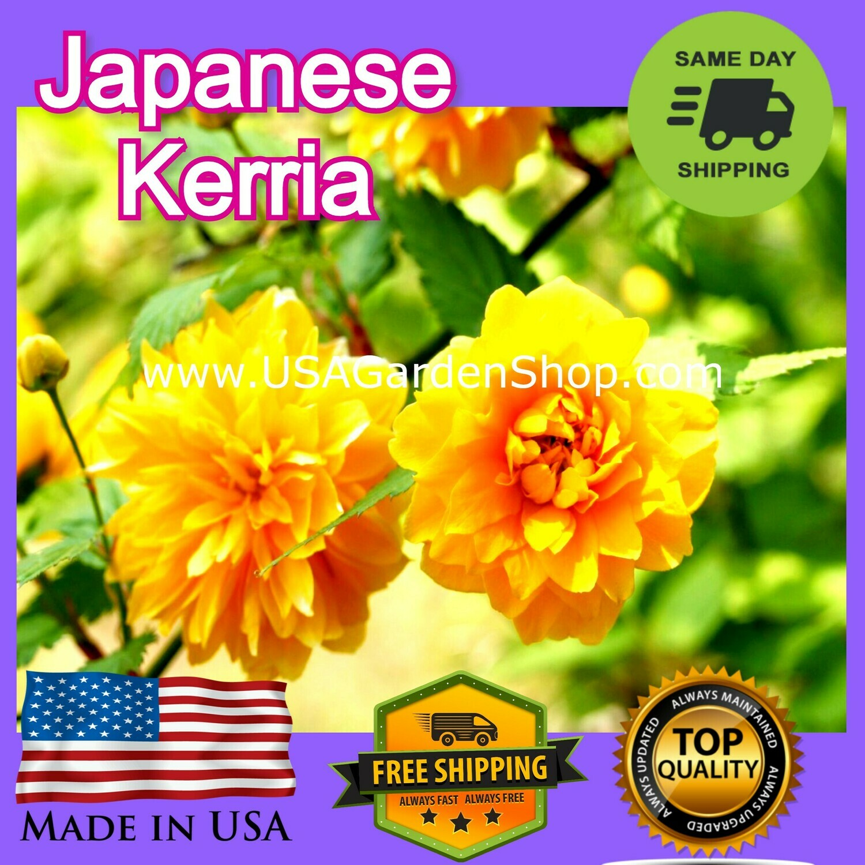 Kerria Double Flowering Japanese Rose Cuttings