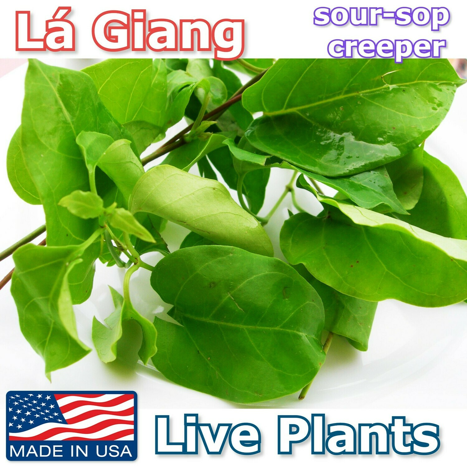 LA GIANG River Leaf Sour-Sop Creeper