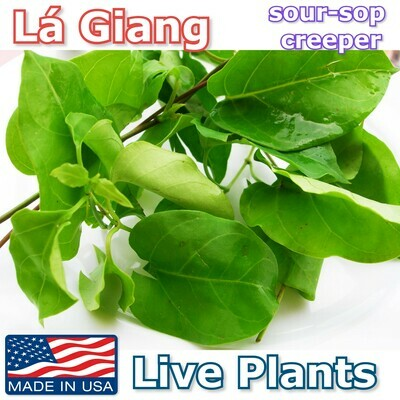 LA GIANG River Leaf Sour-Sop Creeper Live Plants