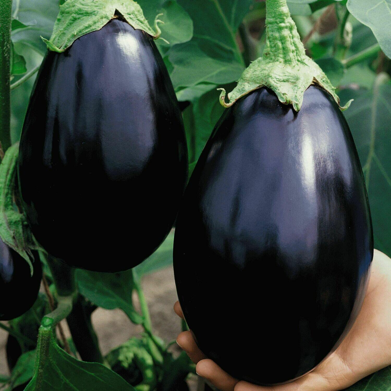 Eggplant seeds Black Beauty Eggplant Dark Purple