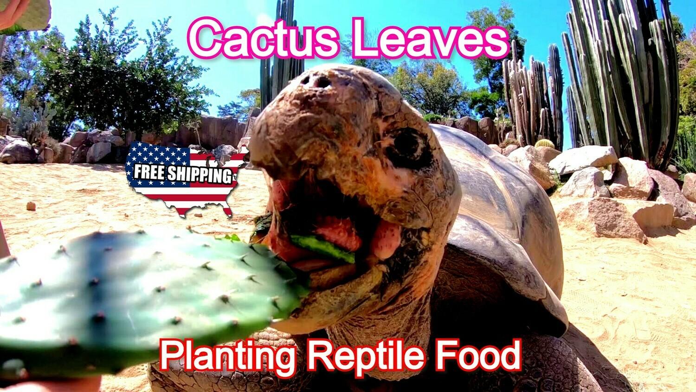 Live Cactus leaves pad La Xuong Rong