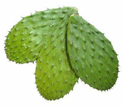 Tortoise Cactus Xuong Rong
