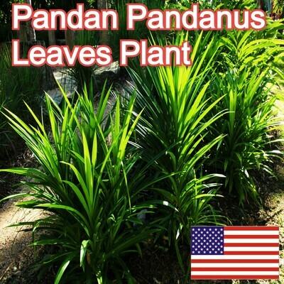 Pandanus amaryllifolius Pandan leaf Cay La Dua