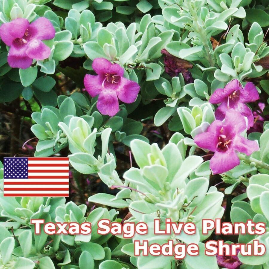 Sage Bonsai Tree Texas Sage