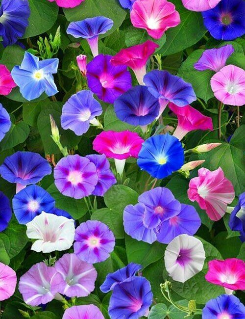 Morning Glory Seeds Heavenly Mix color