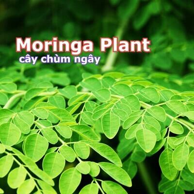 Viable Moringa drumstick tree Chum Ngay