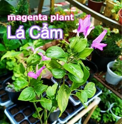Magenta Leaf Plant Peristrophe roxburghiana Cay La Cam