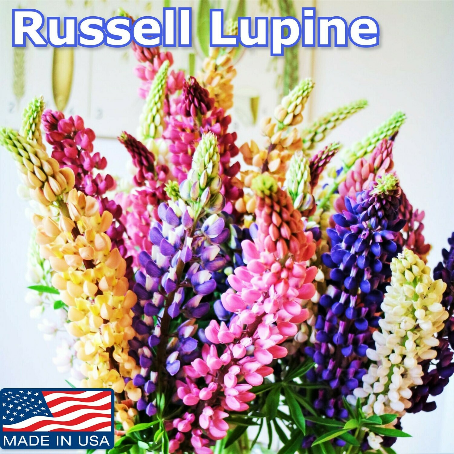 Mixed Colors RUSSELL LUPINE seeds