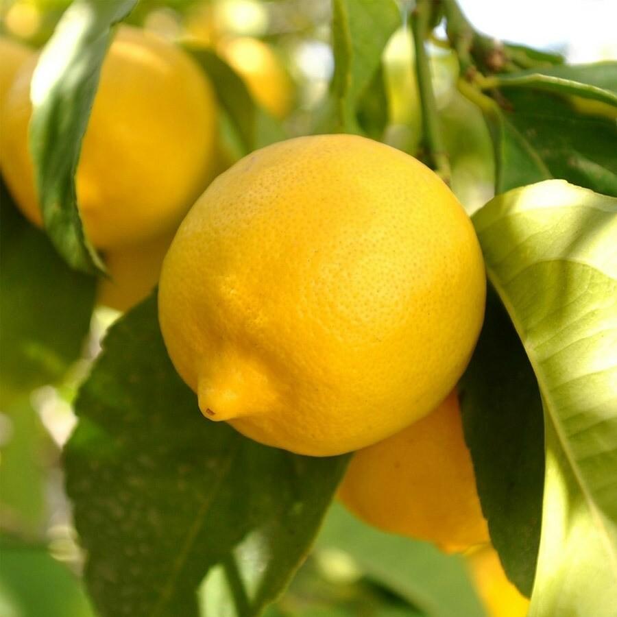 Lemon tree 4-5ft live lime plant