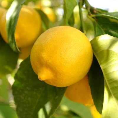 Lemon tree 4-5ft live lime plant