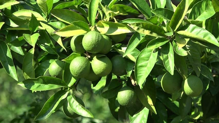 Green lemon tree live plant 4-5ft tall