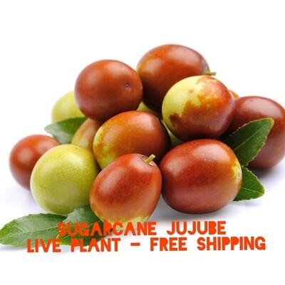 Sugar cane Jujube live plant cay tao tau