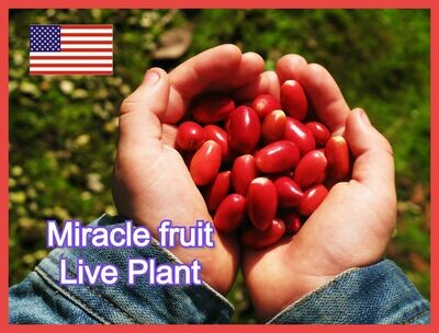 Miracle Fruit Plant Synsepalum dulcificum tree (Miracle berry) Cay Than Ky