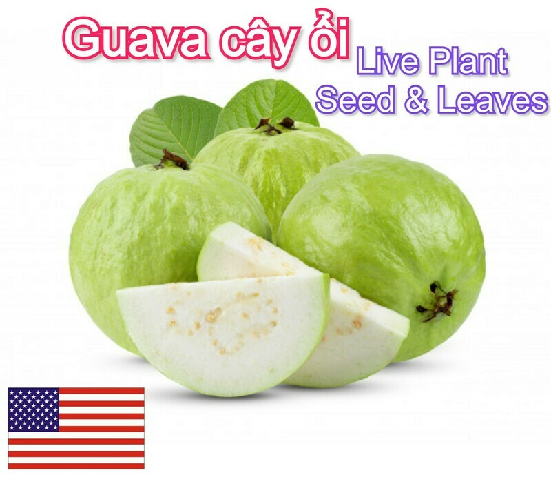 Guava Tropical Fruit tree Cay Oi Live Plant