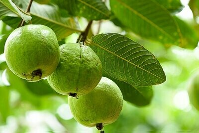 Guava Tropical Fruit tree Cay Oi