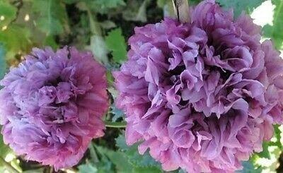 Poppy Peony flower plant seeds