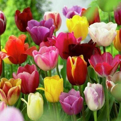 tulip bulbs Dutch Multiple colors tulip fall hardy flower seeds live bulbs