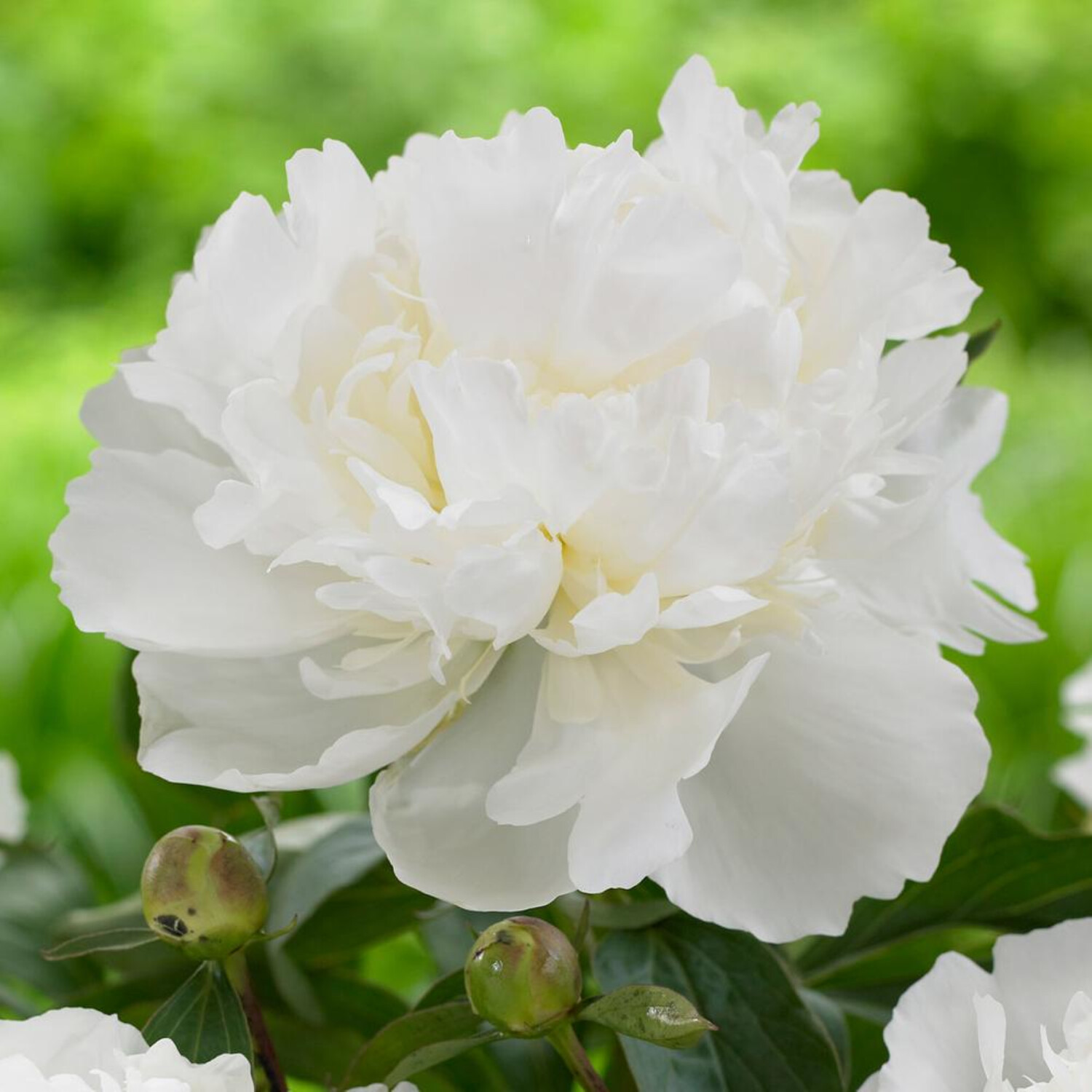 Tree Peony, Paeonia suffruticosa, Shrub Seeds