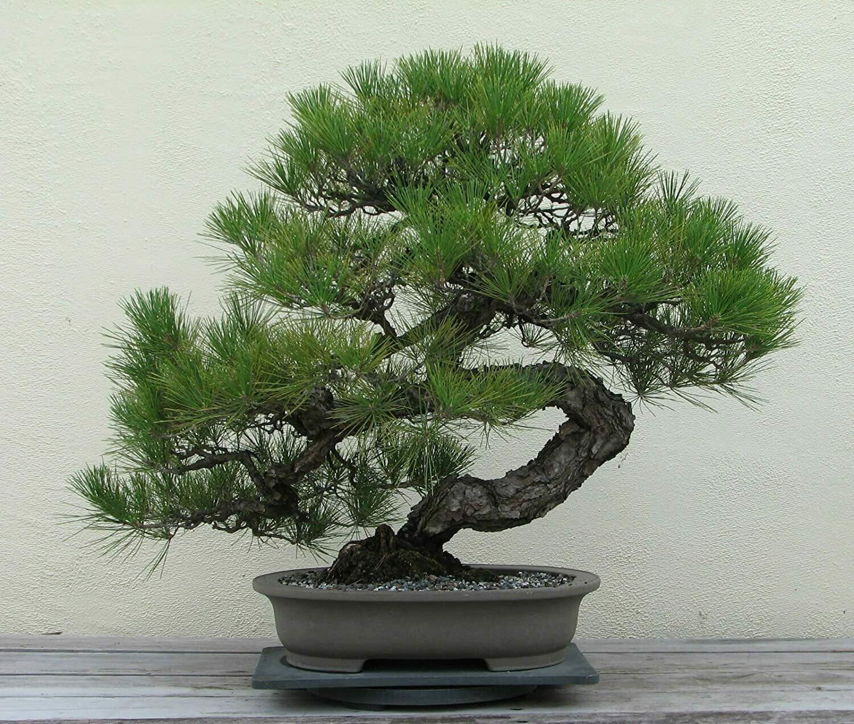 Japanese Black Pine Bonsai Pinus Thunbergii seeds