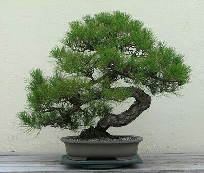 Japanese Black Pine Bonsai Pinus Thunbergii