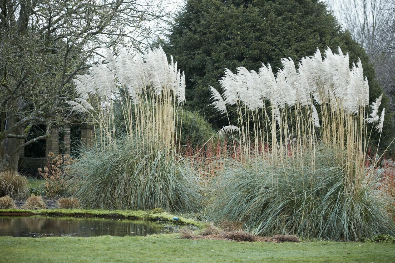 Pampas Grass variety (Cortaderia selloana)