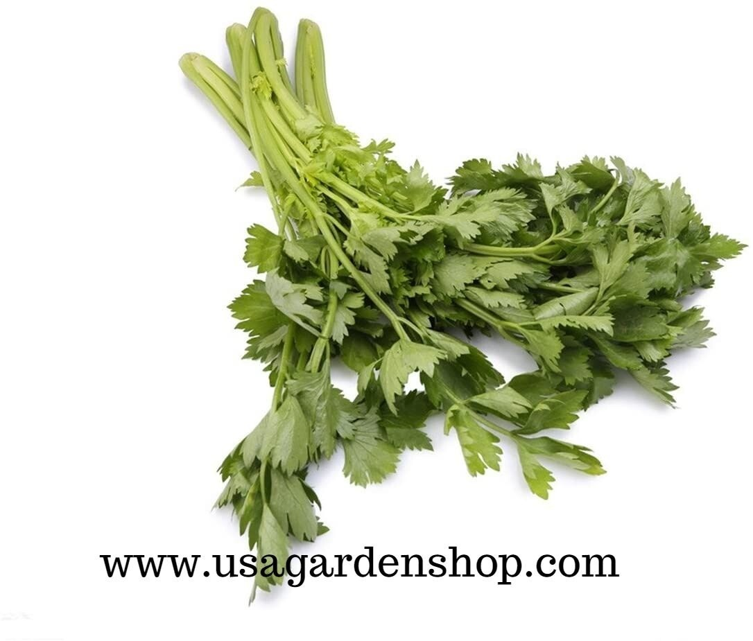 Chinese Leaf Celery Can Tau Serori  Seeds