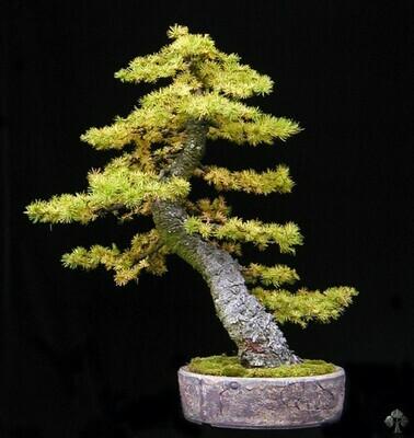 Golden Larch bonsai Larix kaempferi