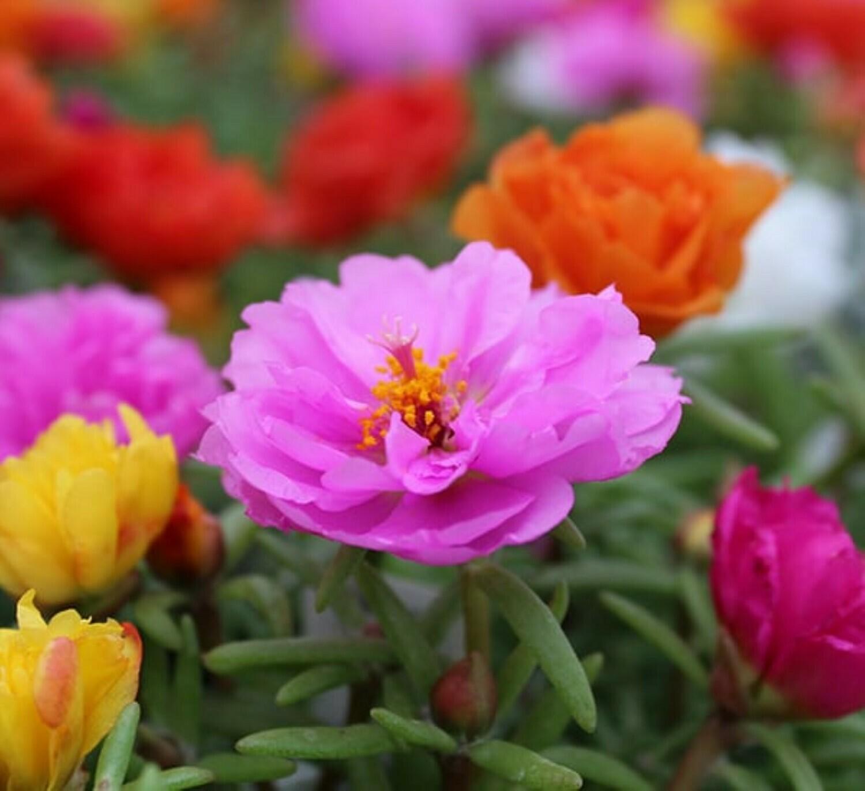 Moss Rose Flowers (Portulaca)