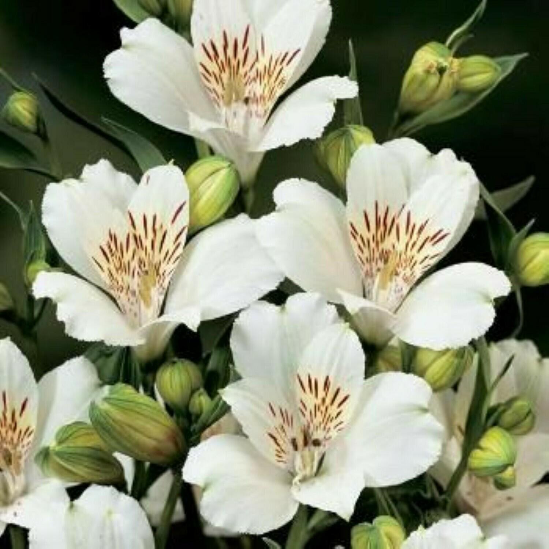 Peruvian Lily (Alstroemeria) Lily of the Incas