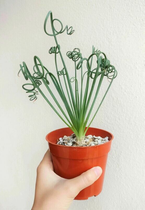 Exotic Frizzle Sizzle Succulent Albuca Spiralis Plant