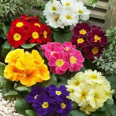 Primrose Beautiful Primula vulgaris