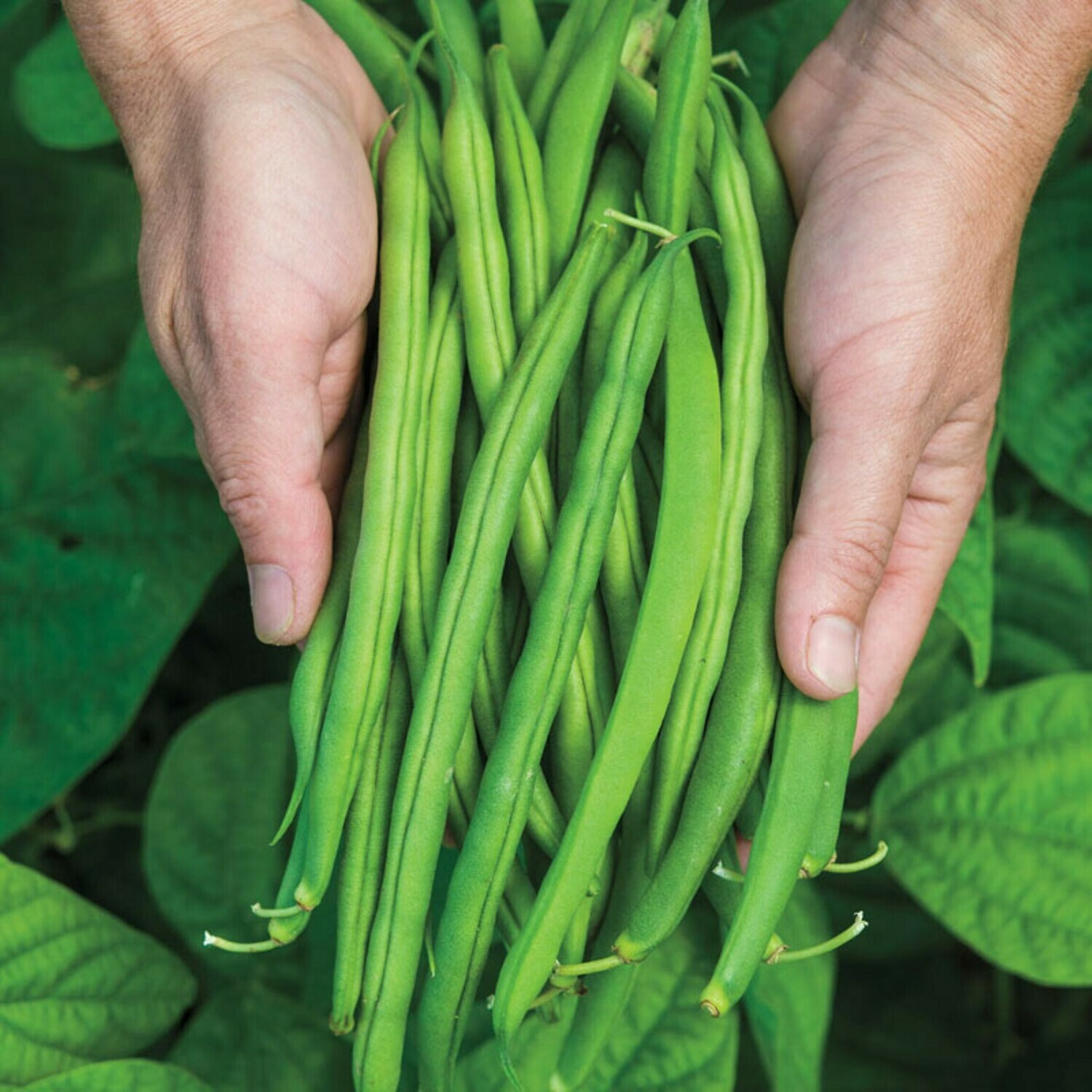 ​Bush Bean Snap Green Bean