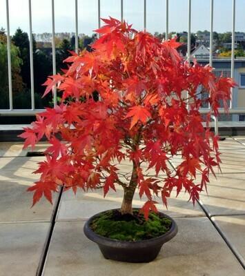 Japanese Maple Bonsai Acer palmatum