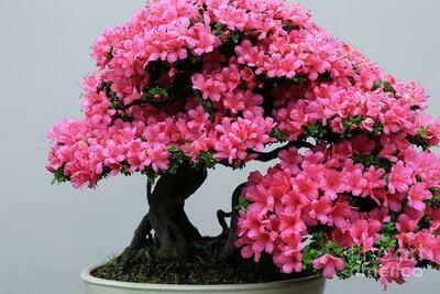 Lavender Rhododendron Azalea Bonsai