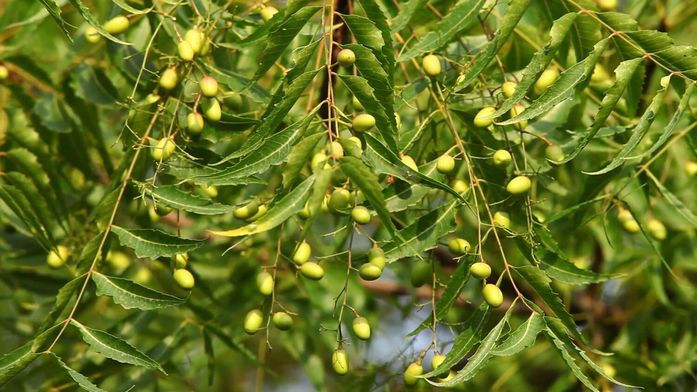 Neem Tree Azadirachta indica